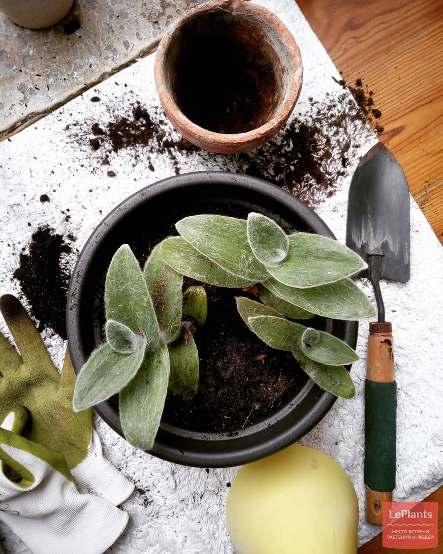 выращивание и пересадка традесканции силламонтана
