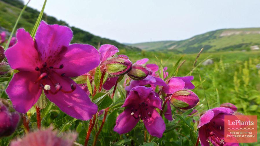 рододендрон — выращивание