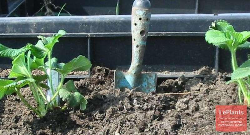 Как правильно посадить клубнику осенью: о сроках, агротехнике и укрывных материалах