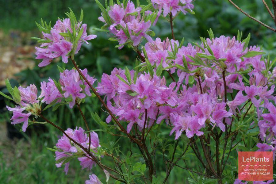 как выращивать рододендрон фразера