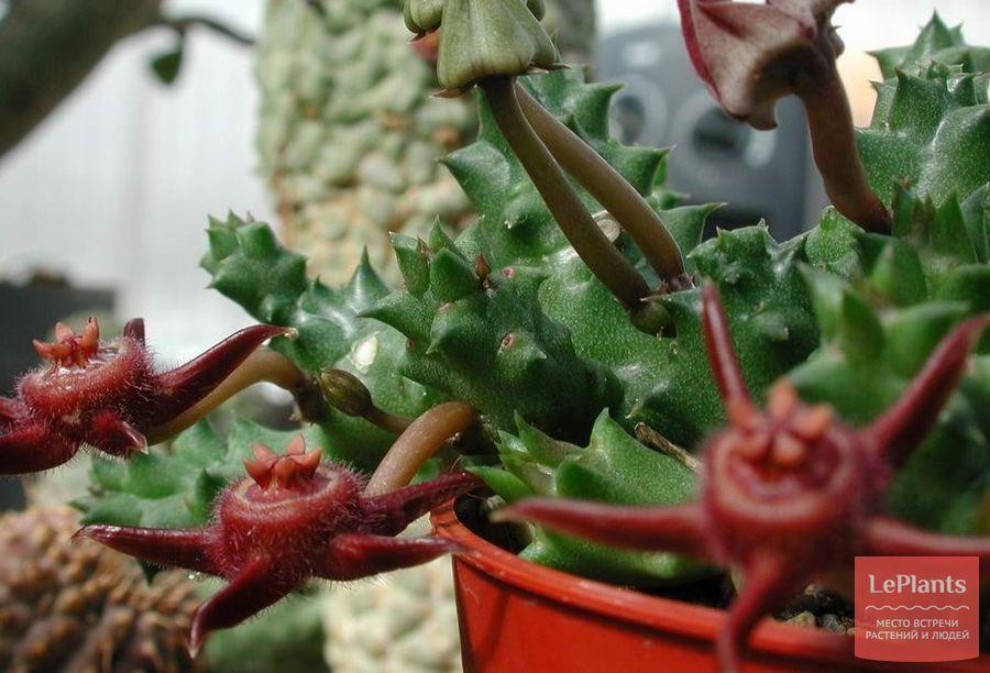 Duvalia caespitosa subs. pubescens