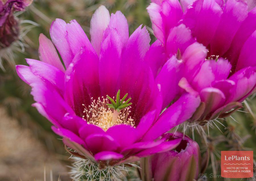 Эхиноцереус пучковатый цветет