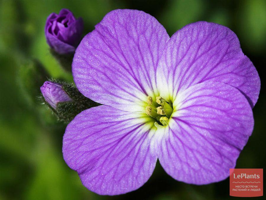 Цветок Обриеты