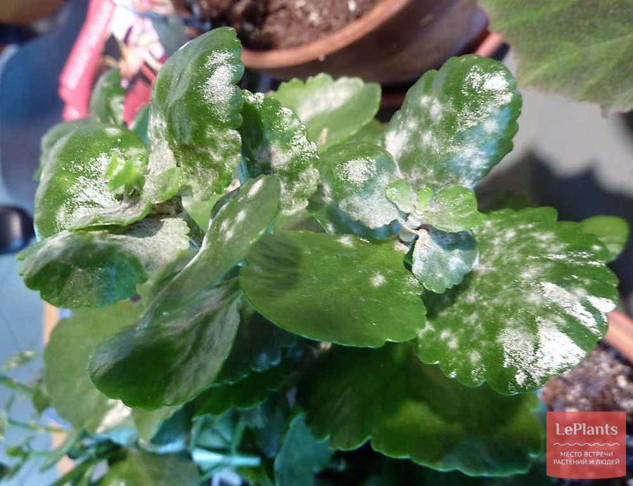 выращивание каланхоэ без мучнистой росы
