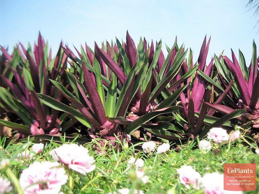 традесканция разноцветная — как выращивать