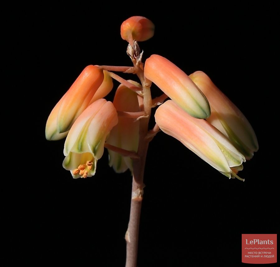 цветы Алоэ анкоберского