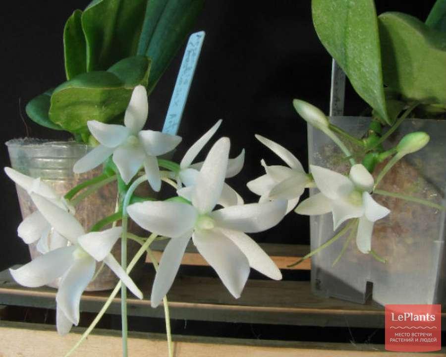 Двудольный цветок