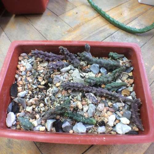Piaranthus geminatus v. foetidus