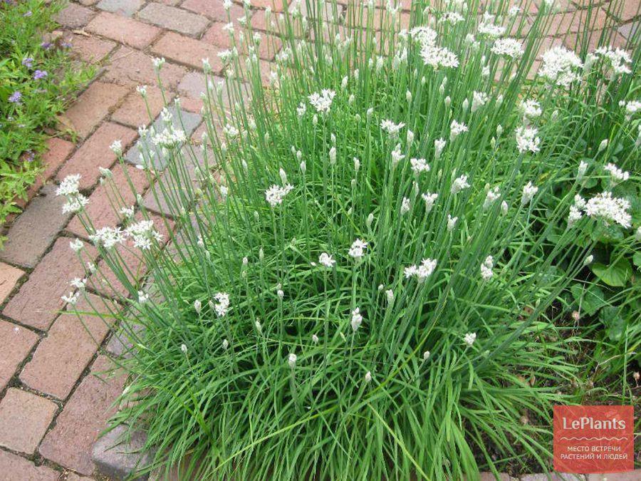 Allium odorum