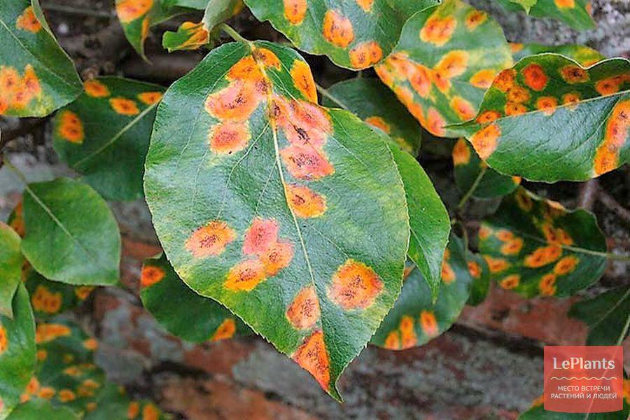 ржавчина на листьях