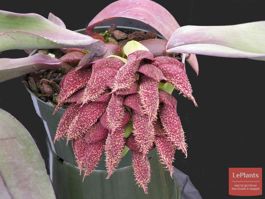 Бульбофиллум фаленопсис цветет