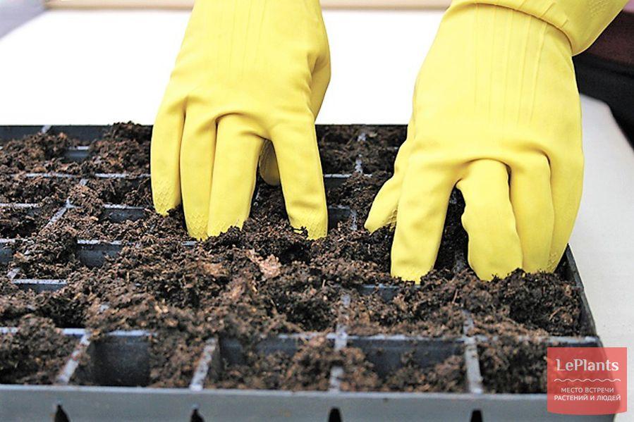 рассада баклажан — выращивание в почвосмеси