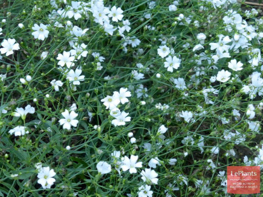Gypsophila elegans 'Grandiflora Alba'