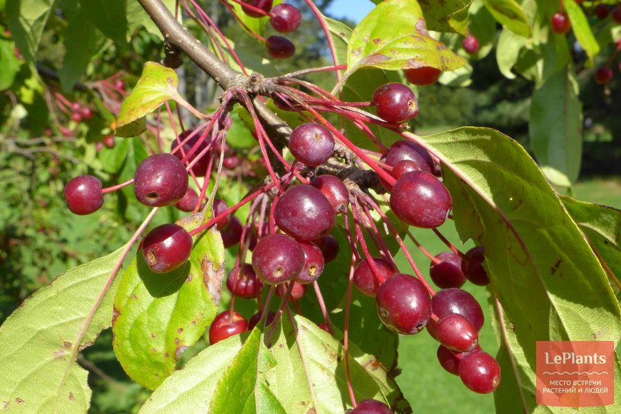 Яблоня Холла плоды