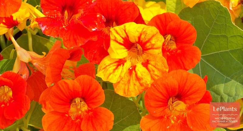 Как вырастить из семян идеальную настурцию