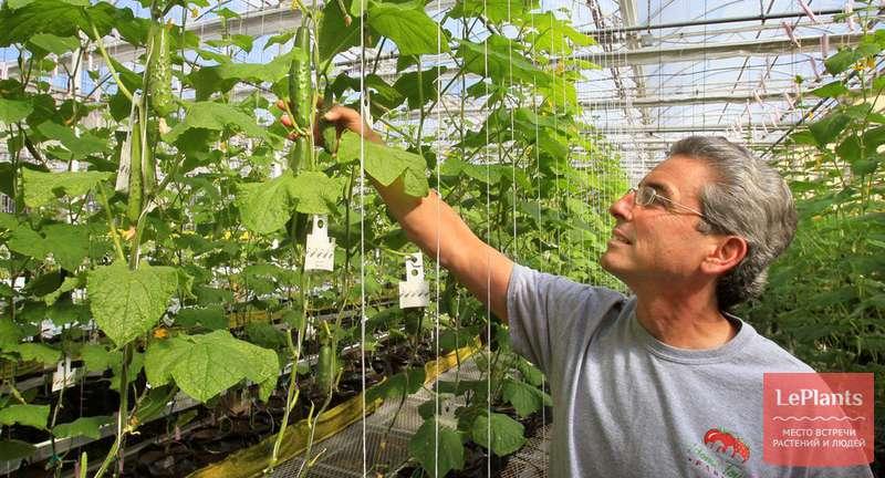 Огурцы в теплице: технология выращивания от посадки до сбора урожая