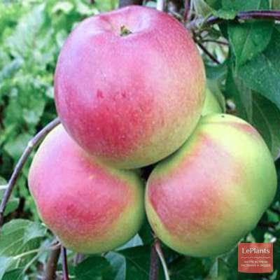 Яблоня 'Ковровое'