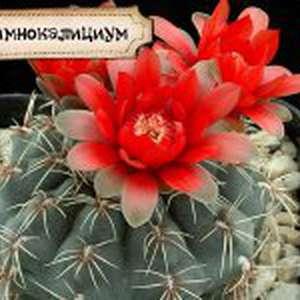 кактуcовый сад