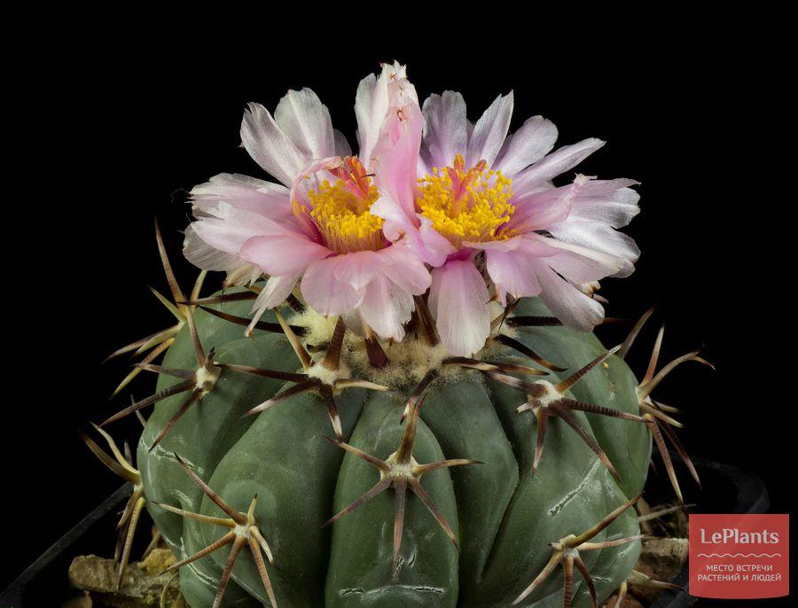 Цветы Эхинокактуса горизонтального