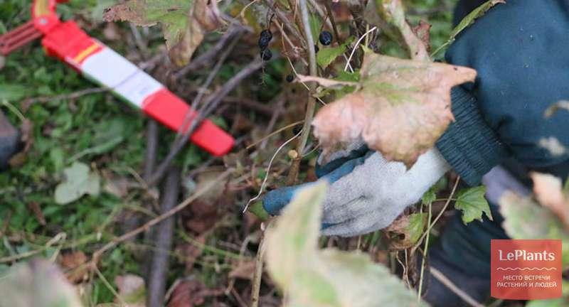 Обрезка смородины осенью для начинающих: схема и видео