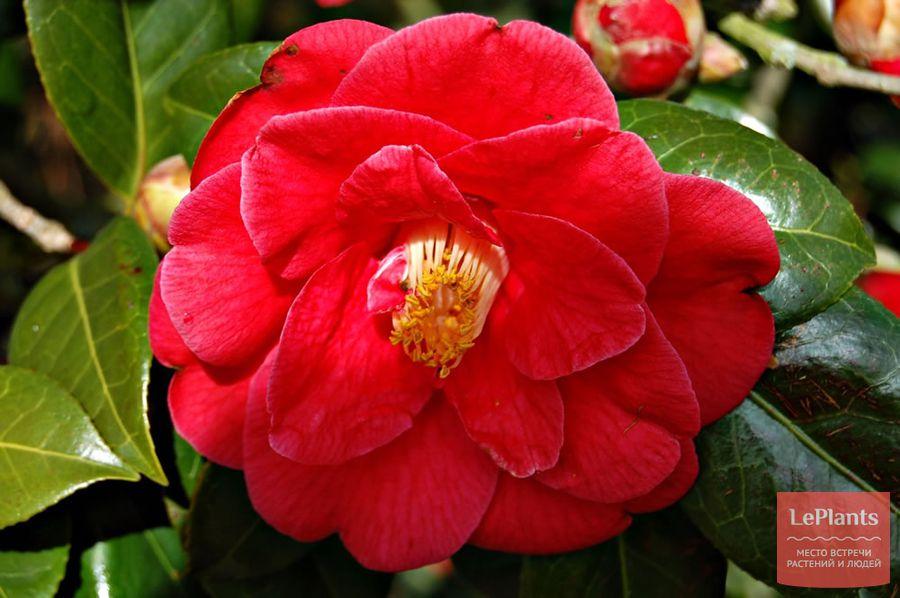 Camellia japonica Adolphe Audusson