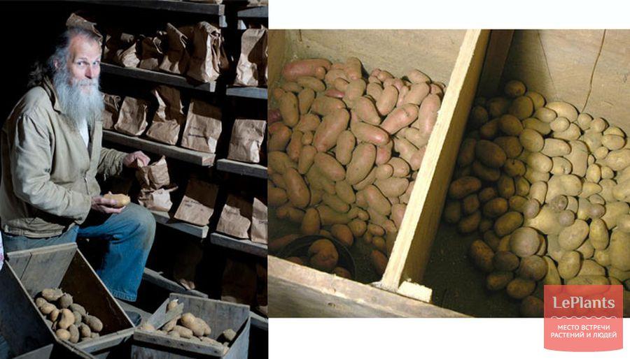 Картошка на балконе зимой при какой температуре