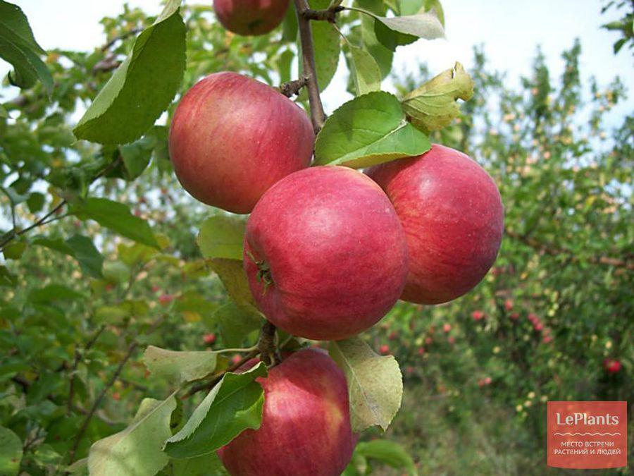 Яблоня 'Скала'