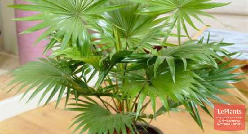 Выращивание комнатных пальм