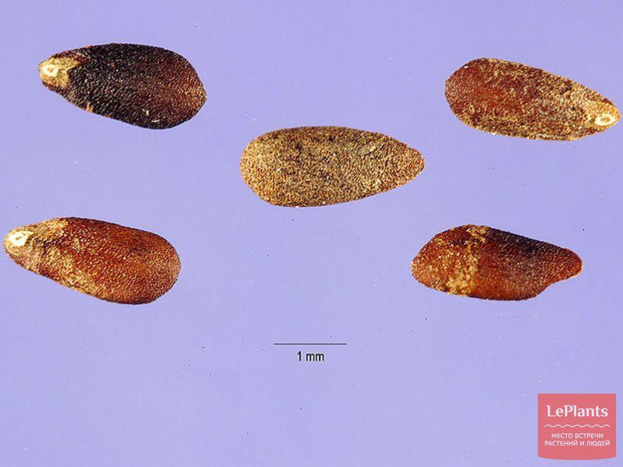 Семена иссопа