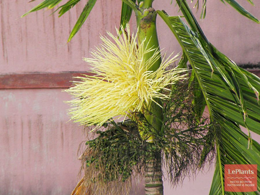 Цветы Ареки катеху