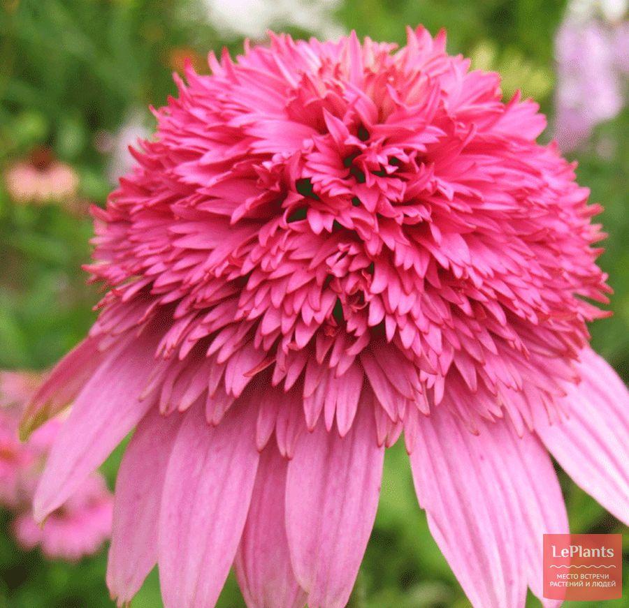 Эхинацея пурпурная 'Разматаз'