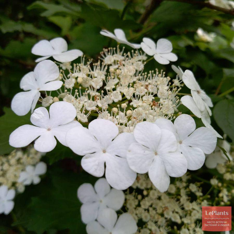 Соцветие Калины обыкновенной