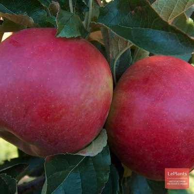 Яблоня 'Настенька'