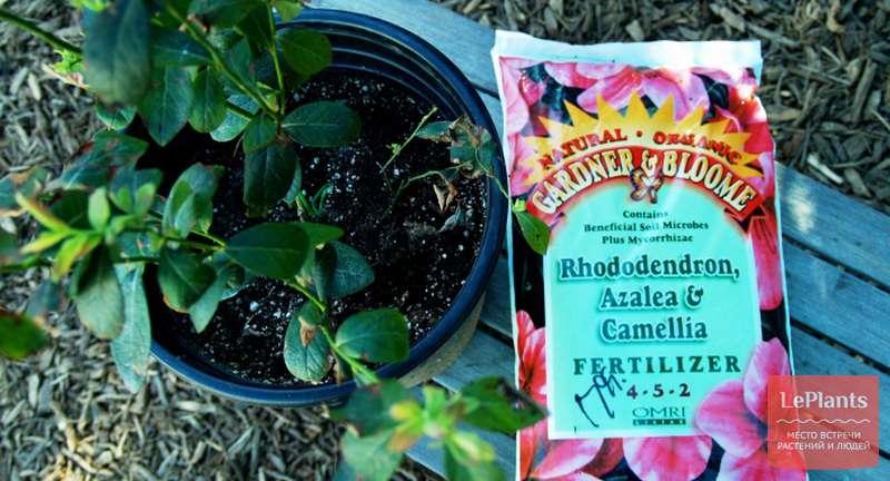 Правила внесения удобрений для азалий и рододендронов