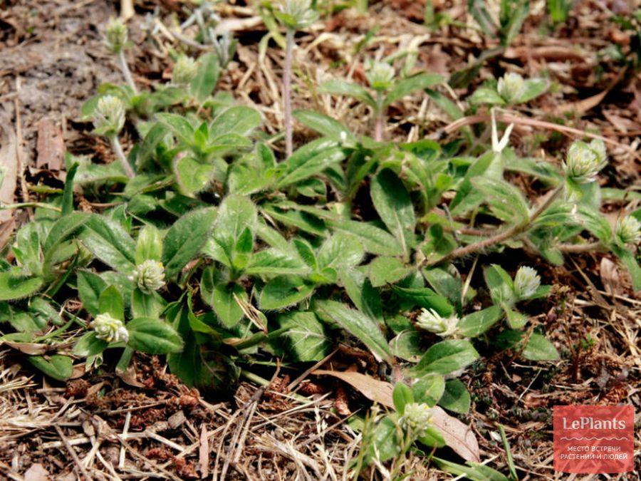 Гомфрена пильчатая (G. serrata)