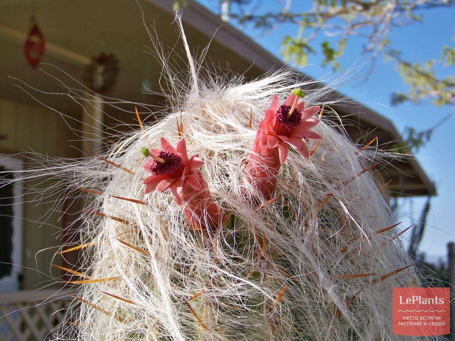 Цветы Цефалоцереуса старческого