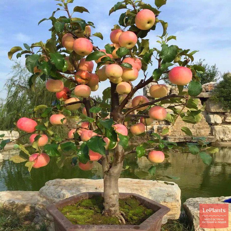Яблоня бонсай