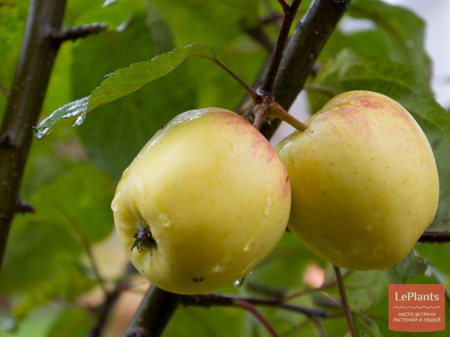 Плоды яблони домашней