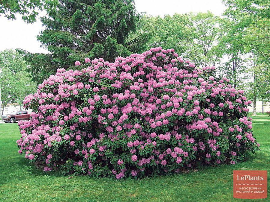 выращивание и уход за садовым рододендроном
