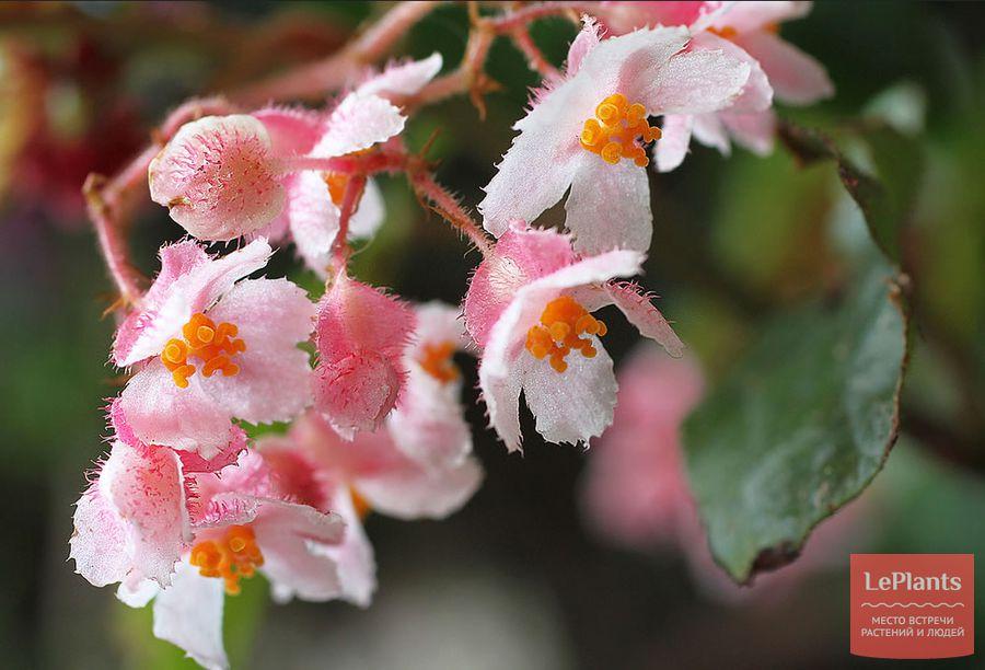 Цветки бегонии телесноцветной