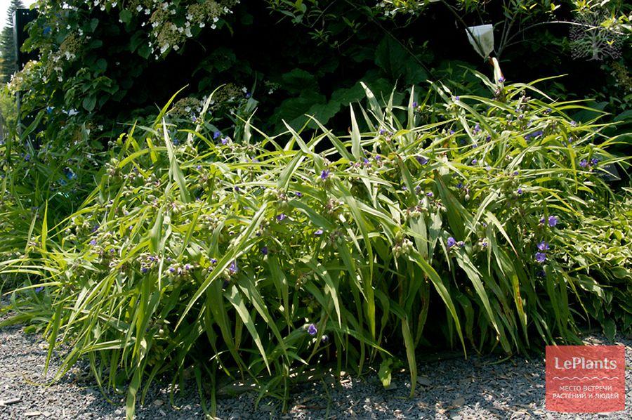 выращивание традесканции Андерсона в саду