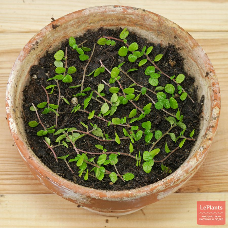 солейролия — уход и размножение