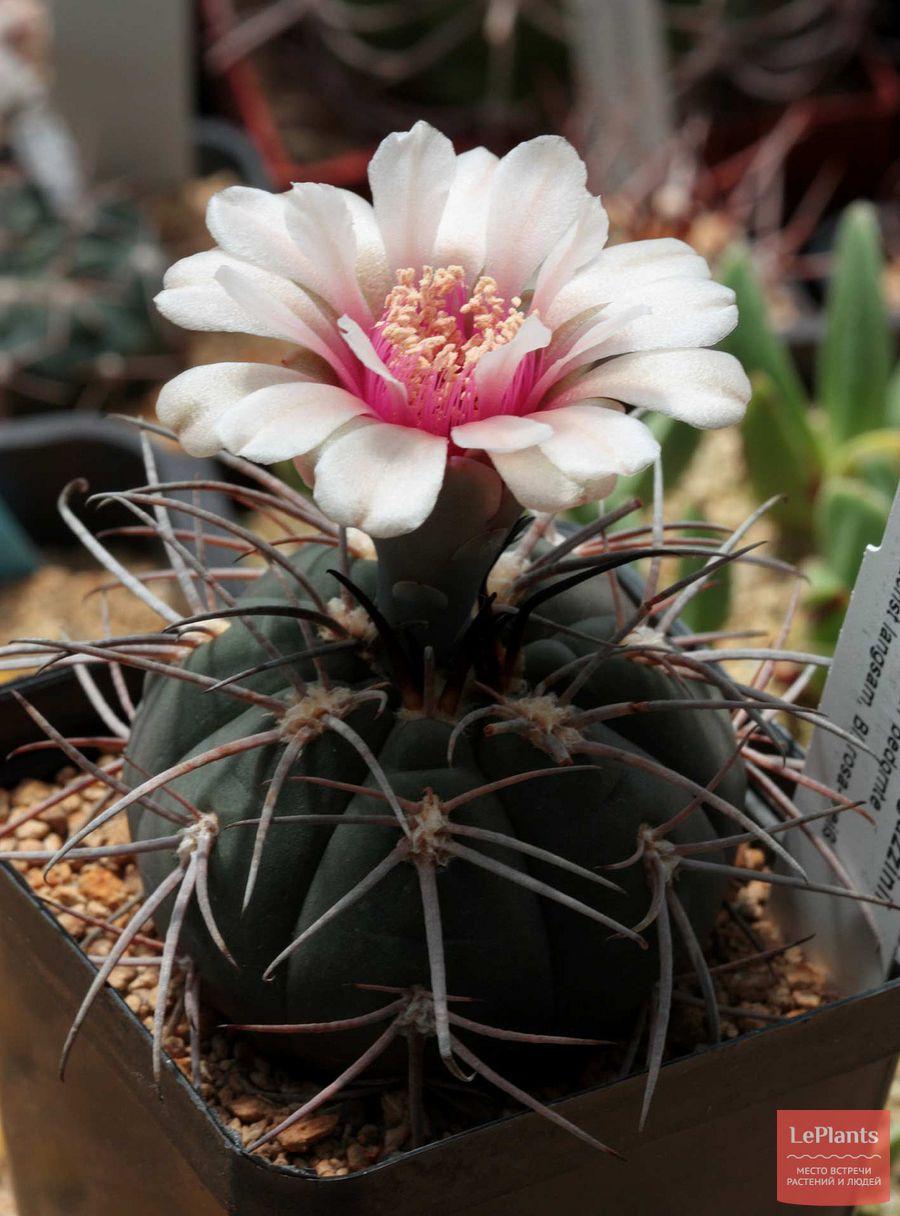 цветок Гимнокалициума Спегаццини