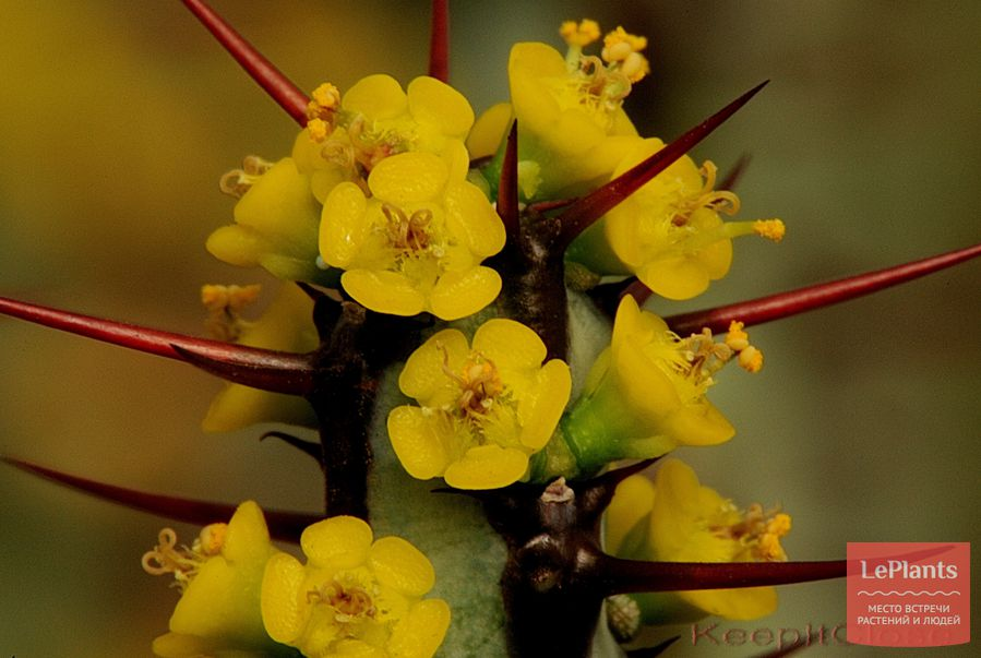 Молочай аэругиноса цветет