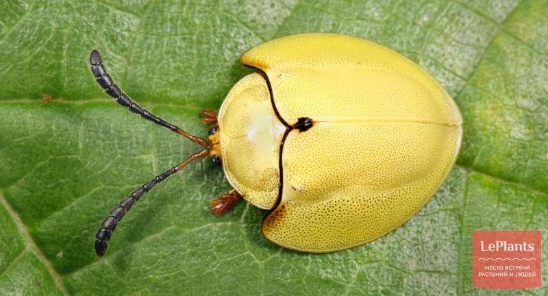 Жуки-листоеды