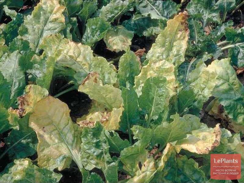 Краснеют листья у свеклы: почему, что делать и чего ей не хватает, чем подкормить и полить если отстает в росте, причины красной ботвы