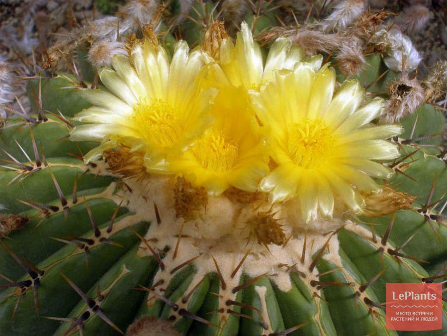 Цветущий Эхинокактус