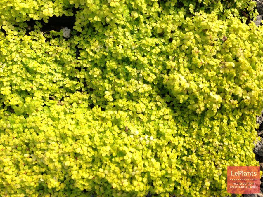 cолейролия — выращивание