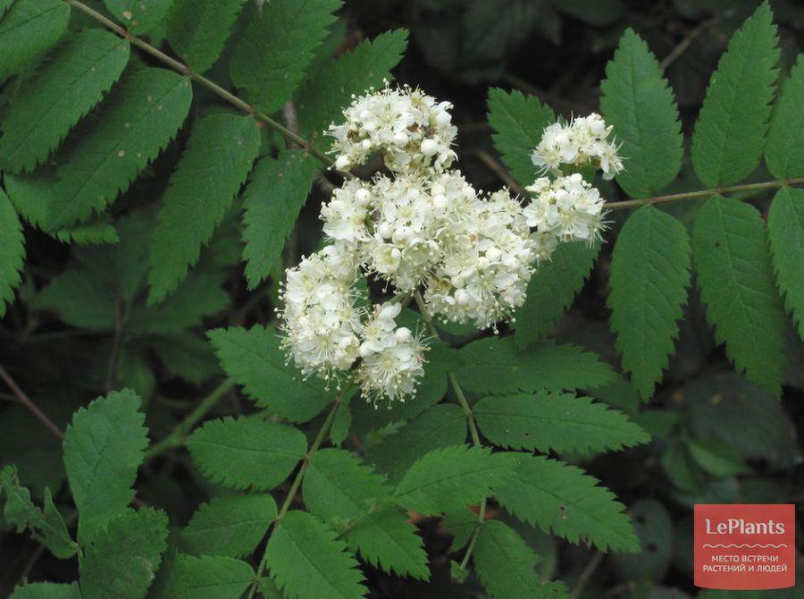 Цветы Рябины