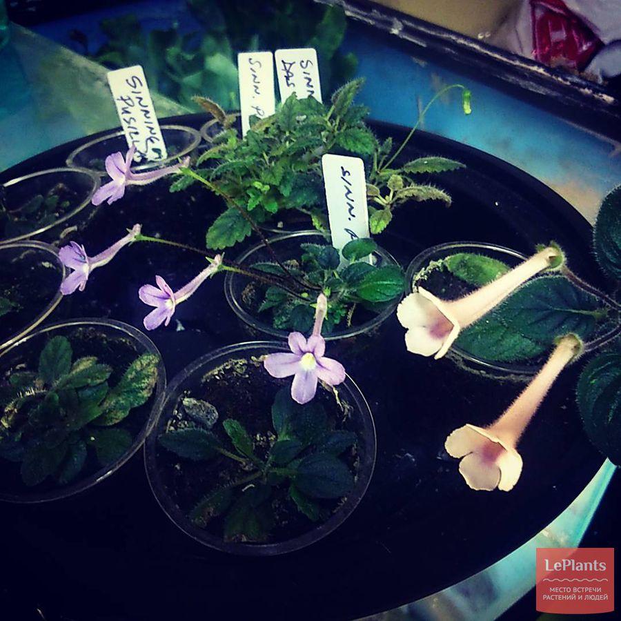 выращивание синнингии крохотной